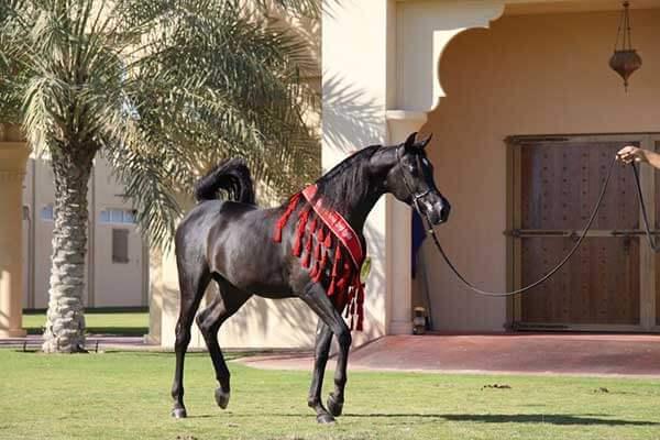 Arabian_Horse_Festival